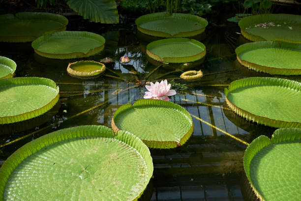 Victoria amazonica Victoria amazonica victoria water lily stock pictures, royalty-free photos & images
