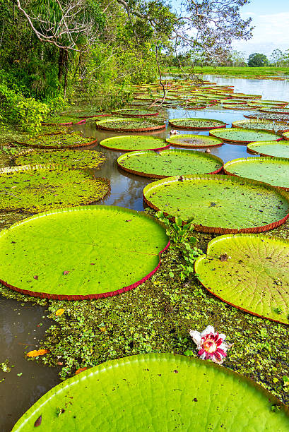 Victoria Amazonica Plants Vertical view of Victoria Amazonica plants, the largest waterlilies in the world victoria water lily stock pictures, royalty-free photos & images