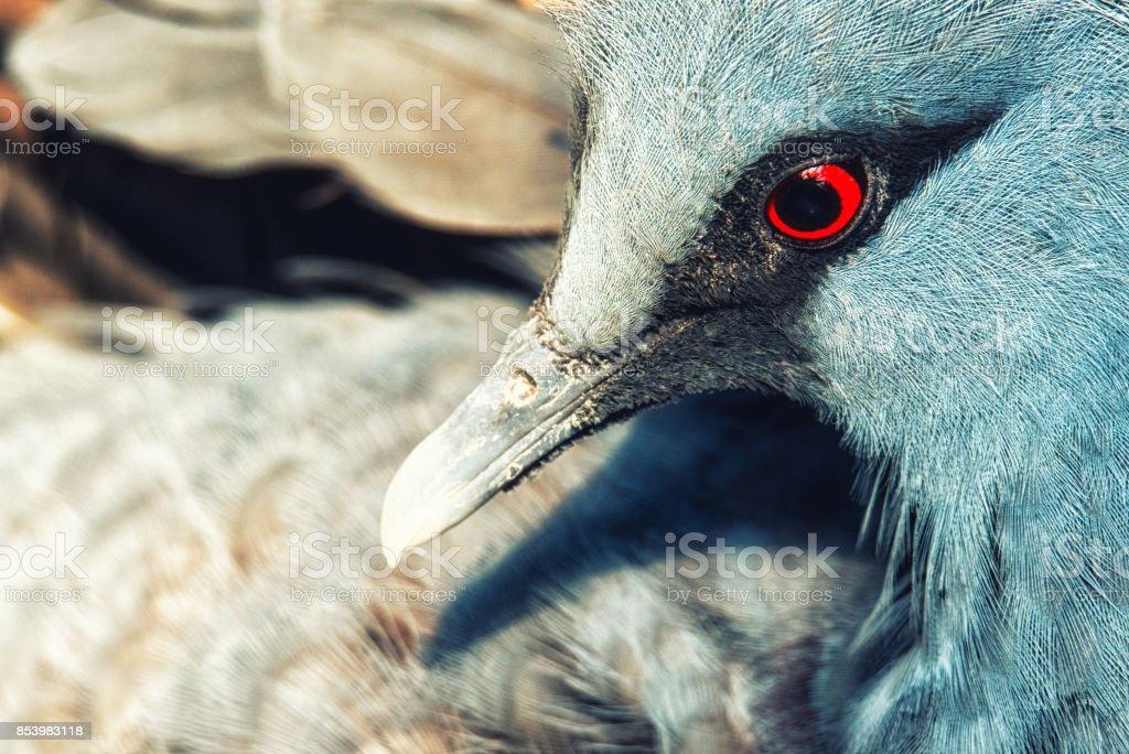 victoria crown pigeon portrait stock photo