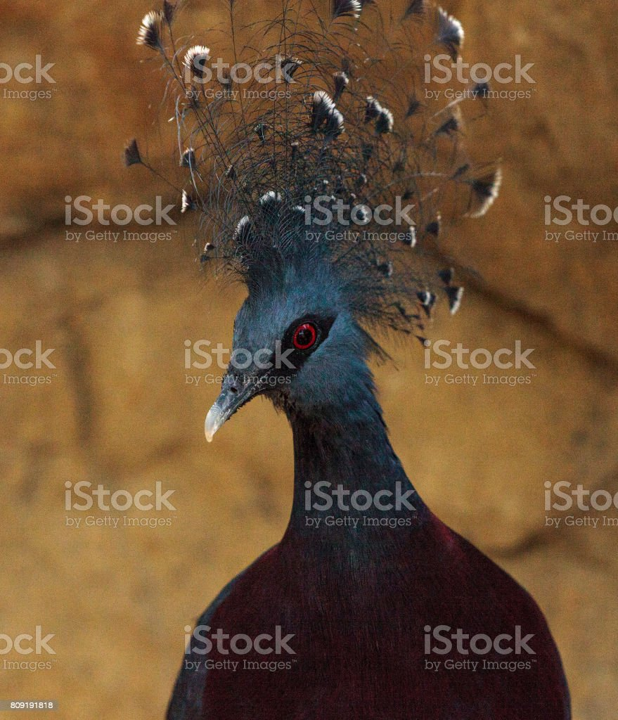 Victoria crowned pigeon called Goura victoria stock photo