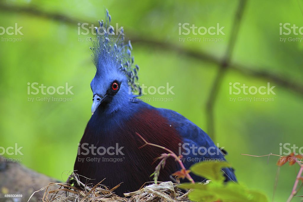 Victoria Crowned Pigeon royalty-free stock photo