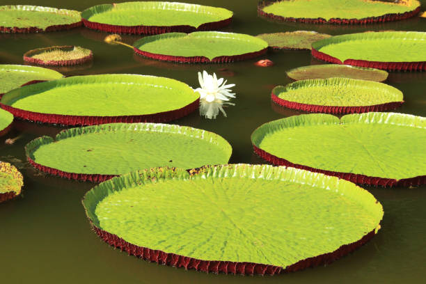 Victoria cruziana aquatic water plant with giant leaves Pantanal Brazil Giant leaves of Victoria cruziana aquatic water plant shot in the tropic Pantanal Brazil victoria water lily stock pictures, royalty-free photos & images