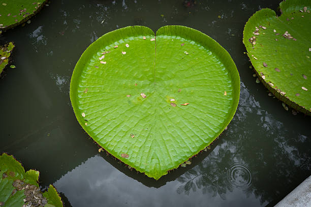 victoria lotus the very big leave of the victoria lotus shaped like heart victoria water lily stock pictures, royalty-free photos & images