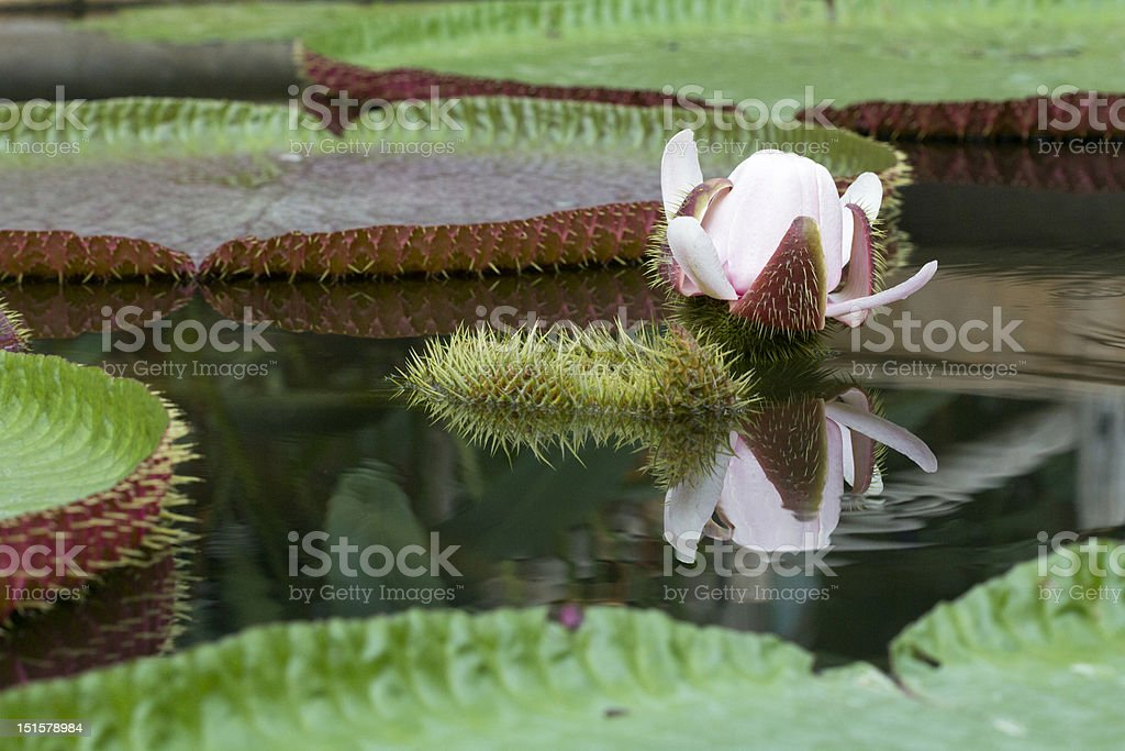 Victoria lotus , the largest waterlily royalty-free stock photo