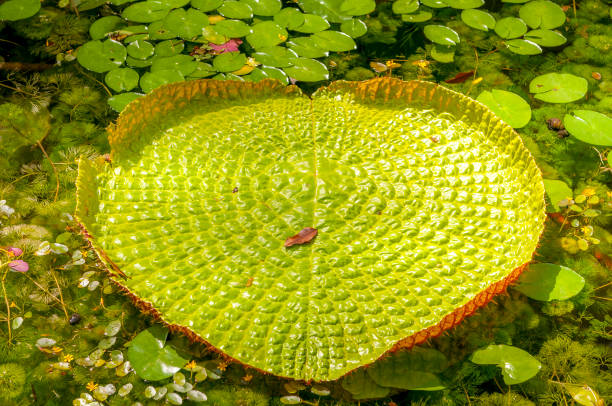 Victoria Regia Lily flower Victoria Regia floating on a amazon lake victoria water lily stock pictures, royalty-free photos & images