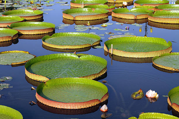 Victoria Regia Victoria Regia - the largest waterlily in the world victoria water lily stock pictures, royalty-free photos & images