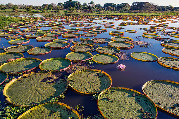 Victoria Water Lily Pads in a Marsh Victoria water lilies, which are native to the Amazon basin of South America.  This plant, first described in 1837 and named for Queen Victoria, has leaves up to 3 m (9.8 ft) in diameter.  This specimen is in the Pantanal, Mato Grosso State, Brazil. victoria water lily stock pictures, royalty-free photos & images