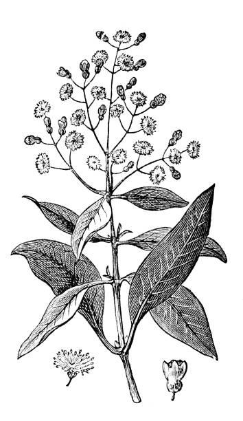 victorian engraving of allspice (pimento) stock photo