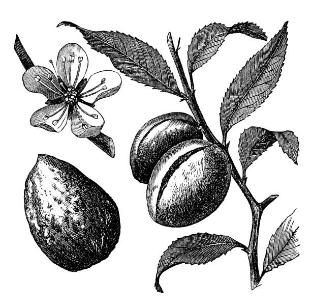 victorian engraving of an almond branch stock photo