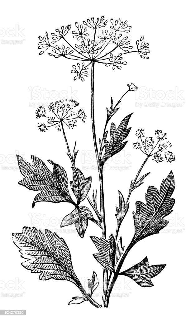 victorian engraving of an anise seed plant stock photo