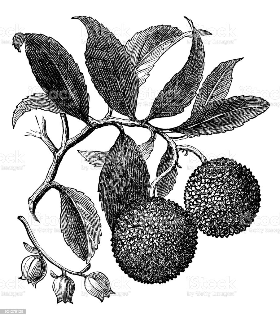 victorian engraving of an arbutus tree branch stock photo