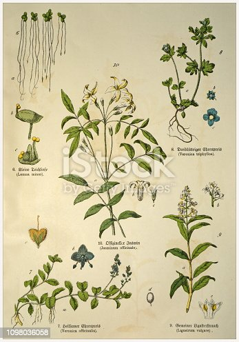 Munich 1880-1889,  Germany.  Victorian style botanical lithographs with corresponding  caption in Latin and old German script.