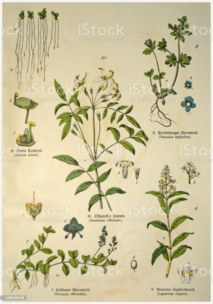 Victorian style botanical lithographs with corresponding caption in Latin and old German script. Munich 1880-1889,  Germany. stock photo