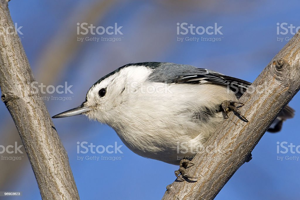 Victory Bird royalty-free stock photo