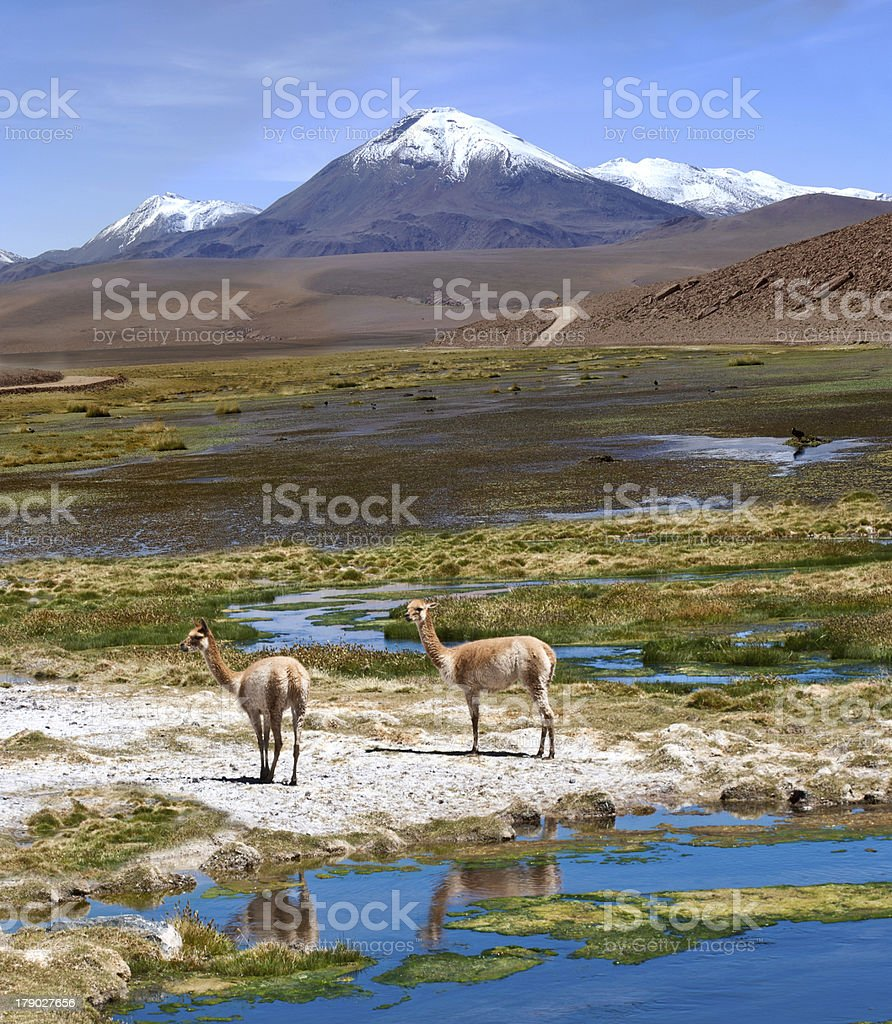 Vicuñas graze in the Atacama, Volcanoes Licancabur and Juriques. Chile-Argentina-Bolivia stock photo