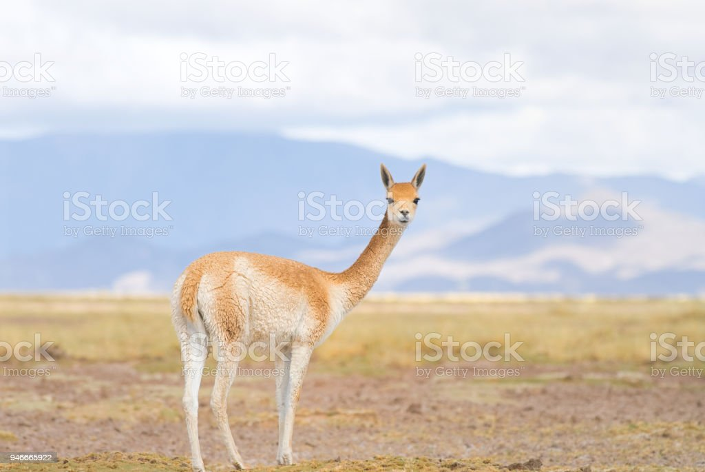 Vicuna (Vicgna vicugna) a High Altitude Camelid from South America stock photo