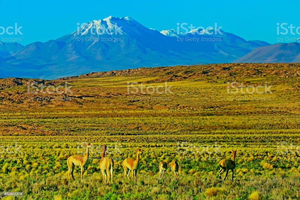 Vicuna Guanaco, animal wildlife in Bolivian Andes altiplano and Idyllic Atacama Desert, Volcanic landscape panorama – Potosi region, Bolivian Andes, Chile, Bolívia and Argentina border stock photo