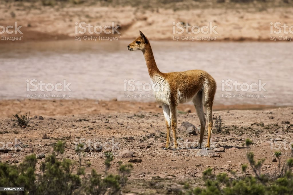 Vicuna in desert landscape – Foto
