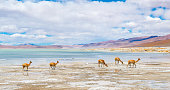 A herd of vicuna's walking by the Chalviri salt flat and lagoon in the altiplano of the Andes mountain range in Bolivia, South America.