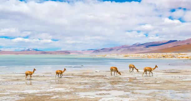 駱馬毛在玻利維亞的高原 - 阿爾蒂普拉諾山脈 個照片及圖片檔
