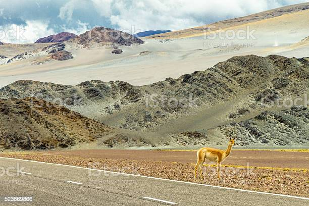 Photo of Vicuna on the side of the road