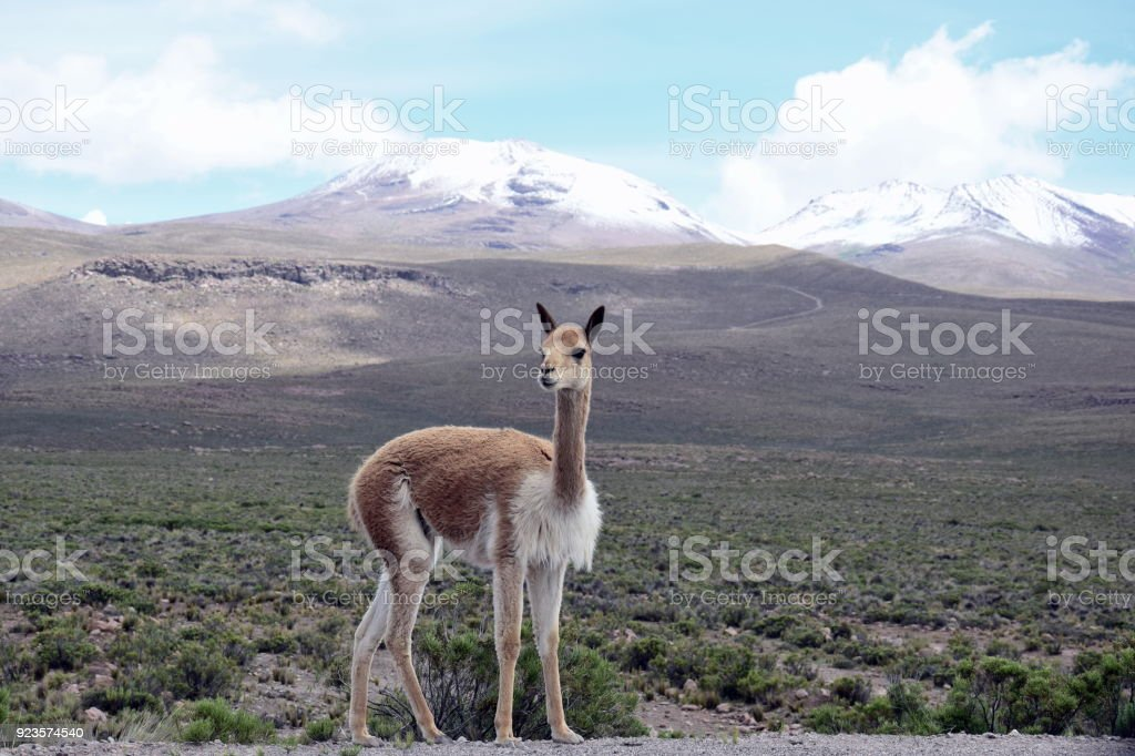 Vicuna Portrait stock photo