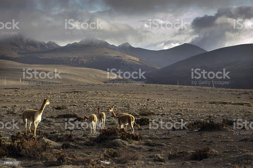 Vicunas in the Chimborazo privince, Ecuador stock photo