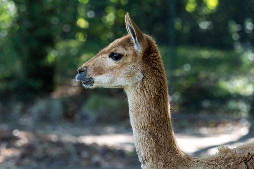 istock Vicunas, Vicugna Vicugna, relatives of the llama 1131328116