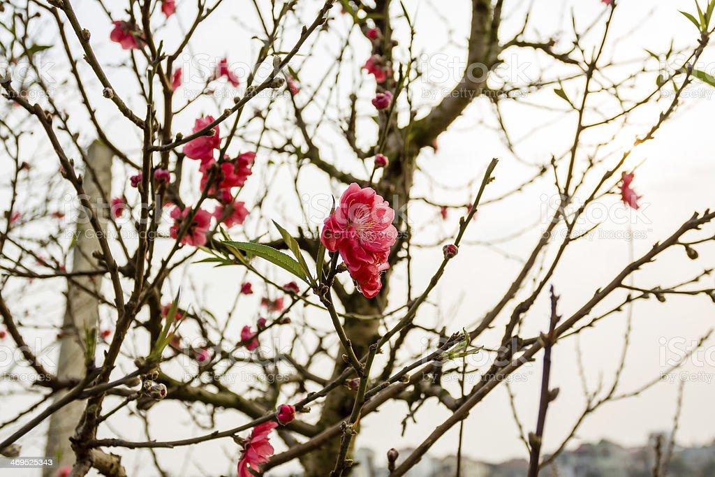 Vietnam Cherry blossom, Hanoi, Vietnam stock photo