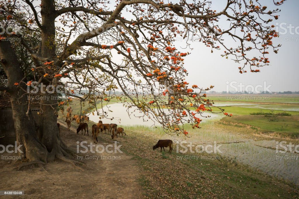 Vietnam landscape. Blossoming Bombax ceiba tree or Red Silk Cotton Flower by old temple with a herd of cows on countryside dyke. stock photo
