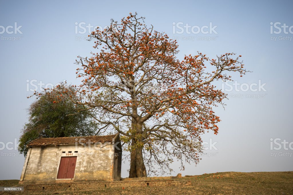 Vietnam landscape. Blossoming Bombax ceiba tree or Red Silk Cotton Flower and old temple on countryside dyke. stock photo