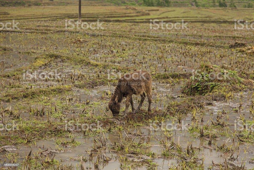 Vietnamese buffalo, Sapa, Vietnam royalty-free stock photo