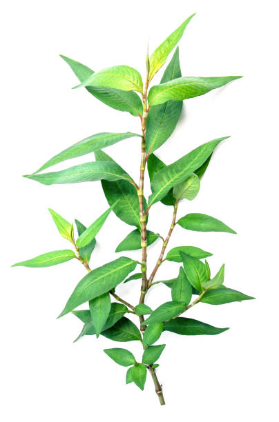 vietnamese coriander plant isolated on white background - knotweed stock pictures, royalty-free photos & images