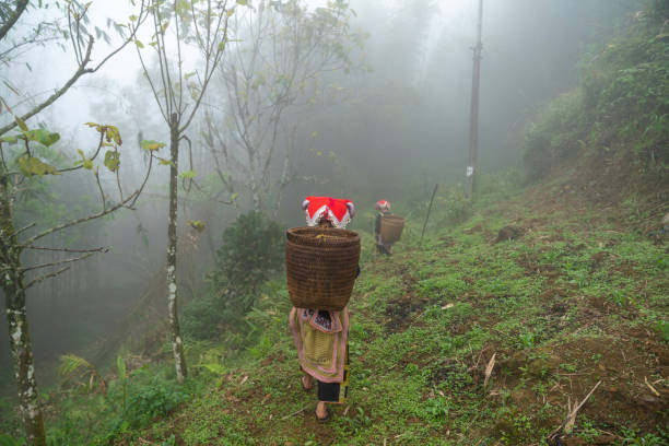 Vietnamese ethnic minority Red Dao women in traditional dress and basket on back in misty forest in Lao Cai, Vietnam stock photo