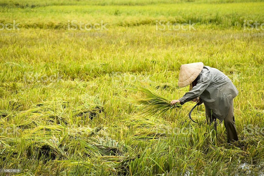 Man harvests rice in the Mekong Delta royalty-free stock photo