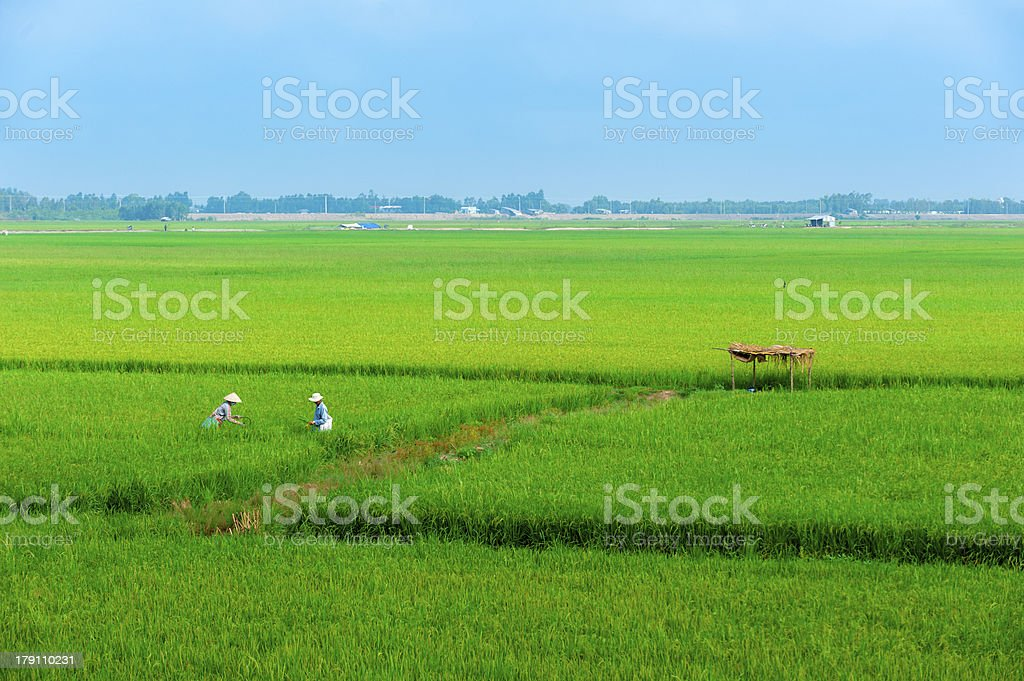Vietnamese farmer working on the paddy rice farmland. royalty-free stock photo