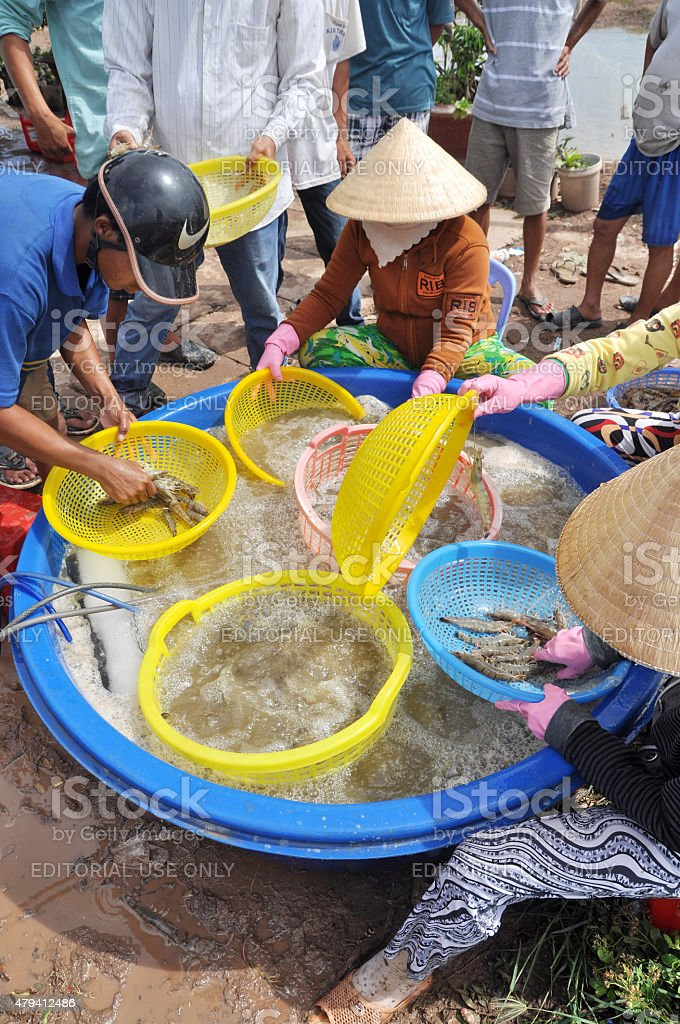 Vietnamese farmers are grading shrimps after harvesting stock photo