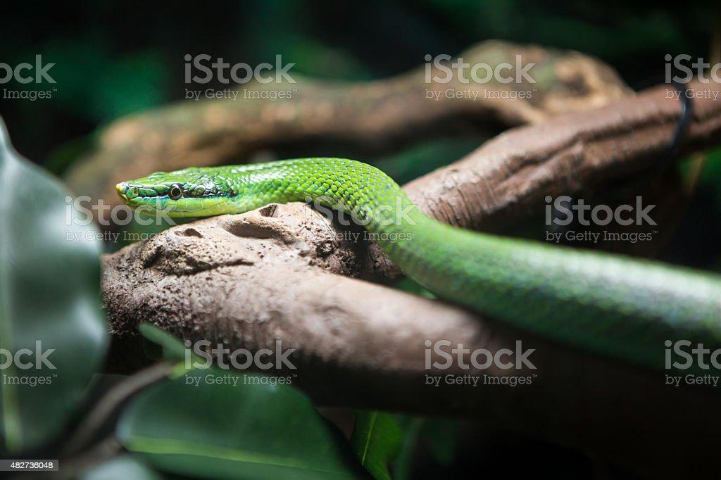 Vietnamese long nosed snake stock photo