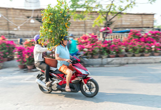 A Vietnamese man is driving motorcycle loaded with Fortunella japonica or Kumquat behind stock photo