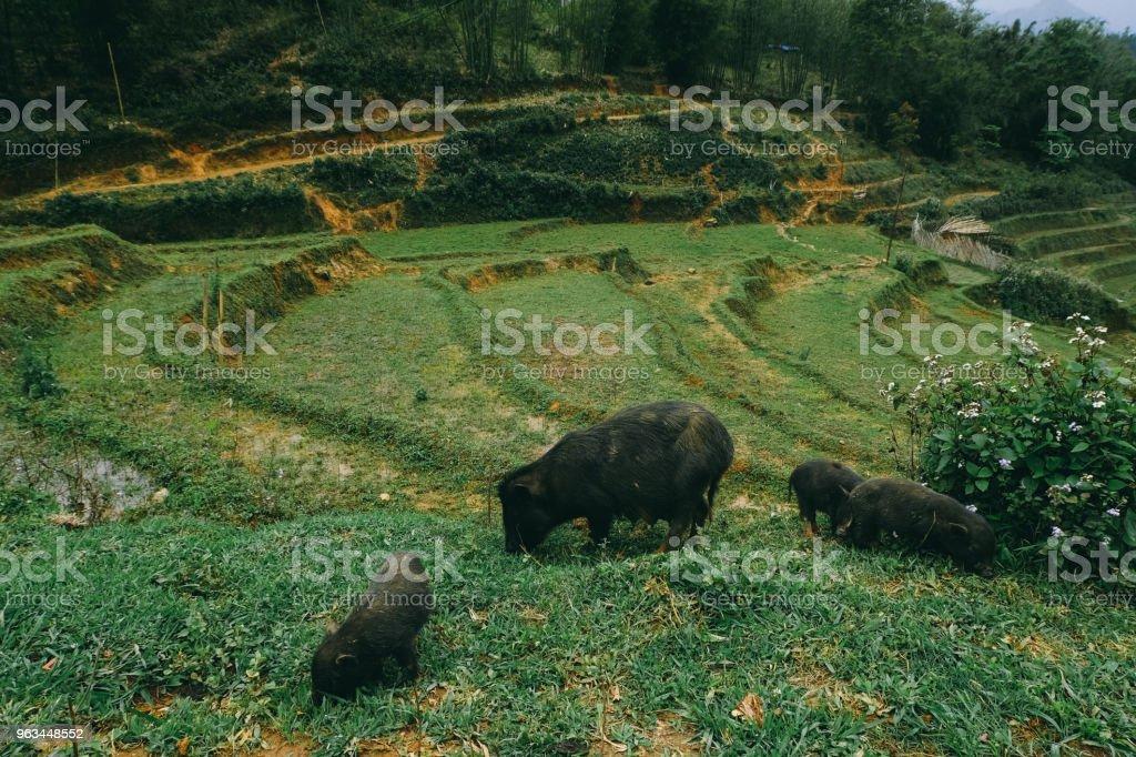 Vietnamesiska svin på risterrasser av norra Vietnam - Royaltyfri Berg Bildbanksbilder