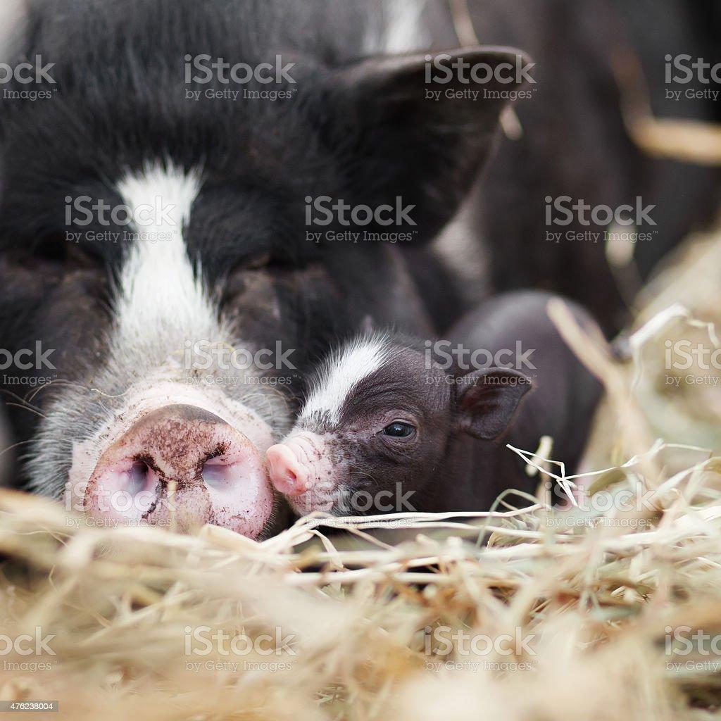 Vietnamese pigs stock photo