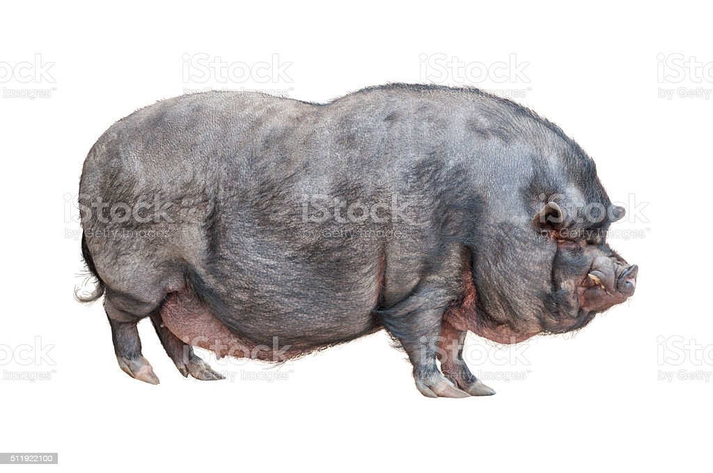Vietnamese Pot-bellied pig cutout stock photo