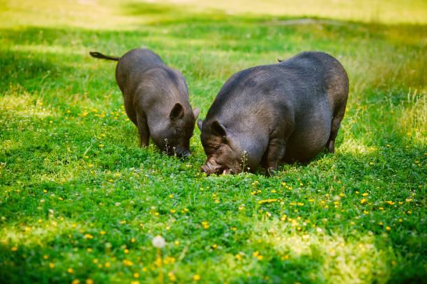 vietnamesische hängebauchschwein grasen auf der wiese mit frischen grünen rasen. - pig ugly stock-fotos und bilder