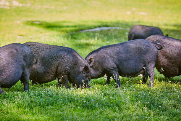 vietnamesische hängebauchschwein auf dem bauernhof - pig ugly stock-fotos und bilder