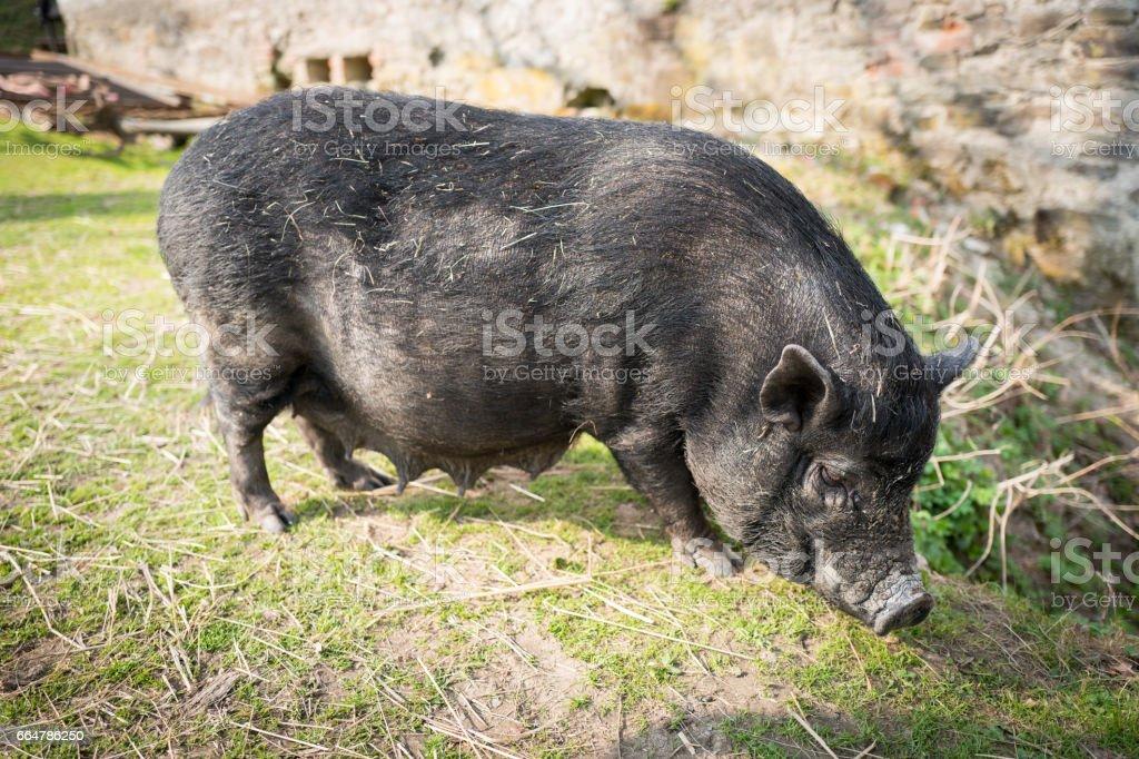 Vietnamesische Hängebauchschwein – Foto