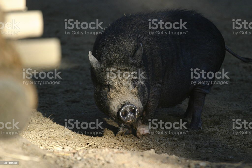 Vietnamese Pot-Bellied Pig royalty-free stock photo