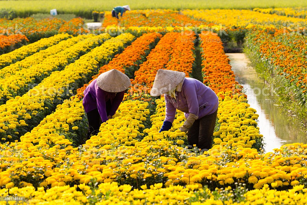 VietNamese woman with conical hat is harvesting flower, in SaDec stock photo