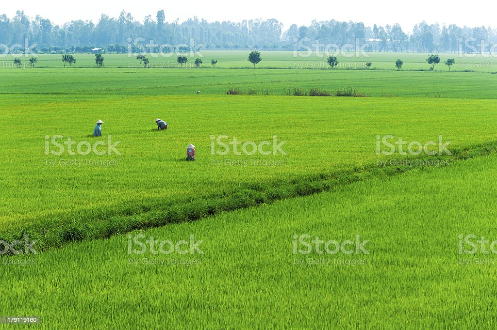 Vietnamese women farmer working on the paddy rice farmland. royalty-free stock photo