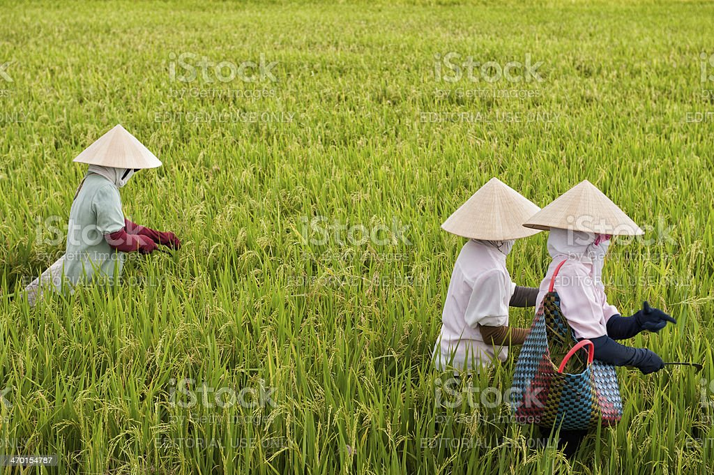 Vietnamese women working in a rice paddy stock photo