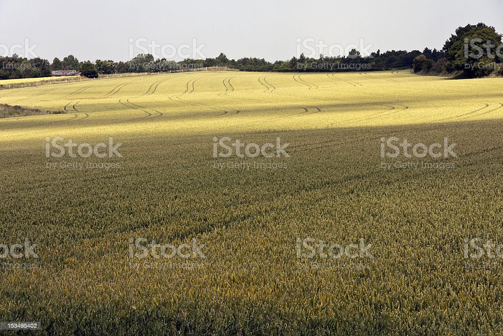 View across a wheat field in Cheshire royalty-free stock photo